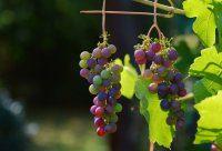 winogrona i rodzynki