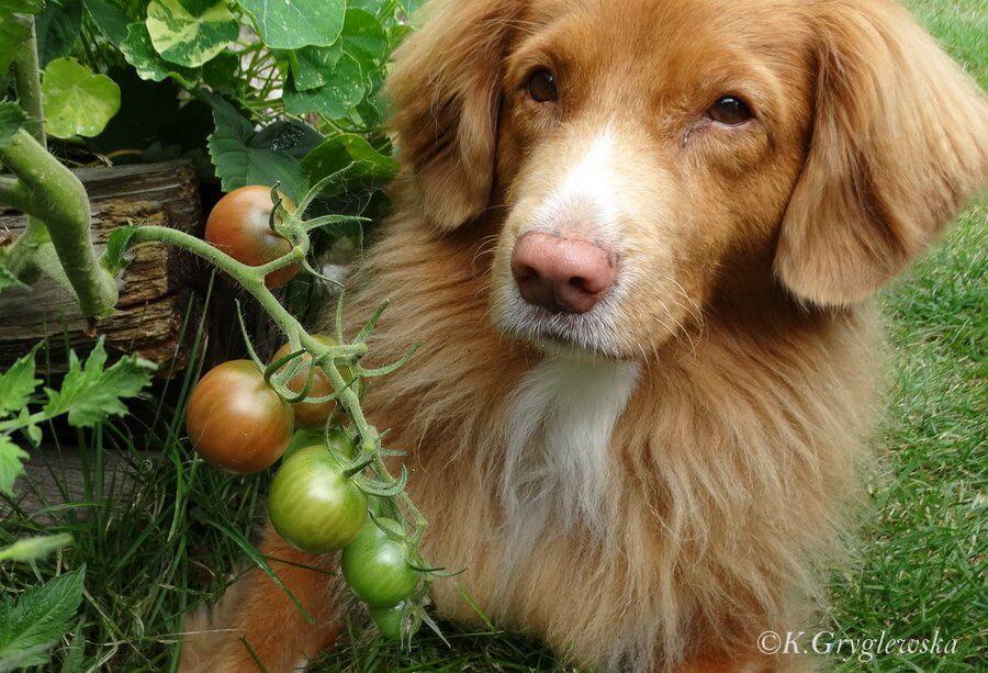 pomidory dla psa