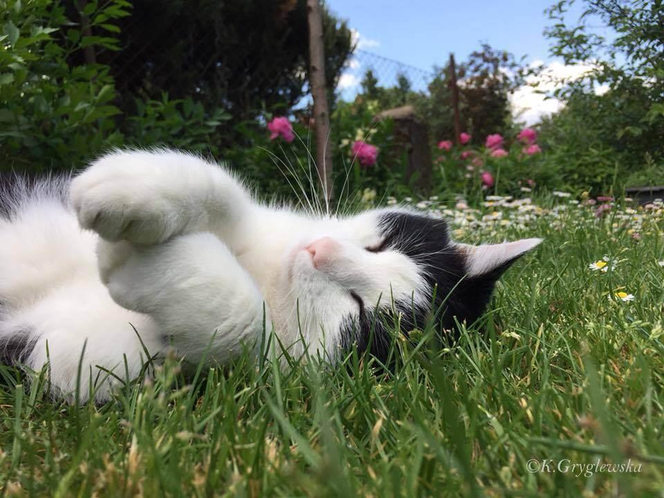 kot Hugo śpi na trawie