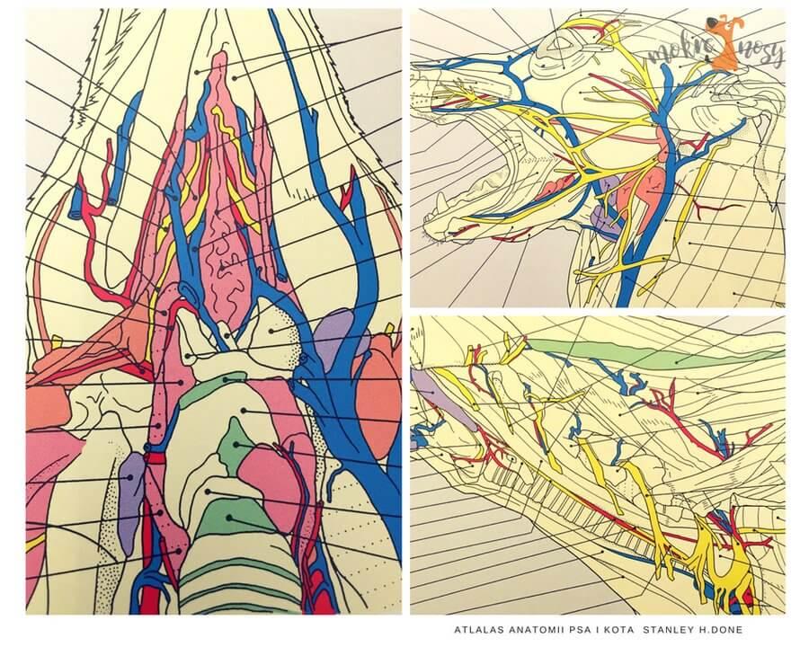 anatomia okolicy szyi psa