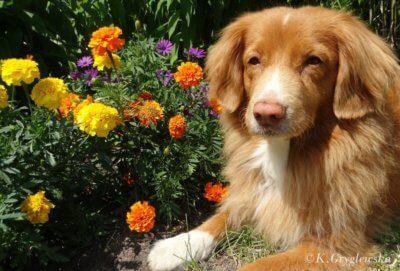 aksamitka dla psa