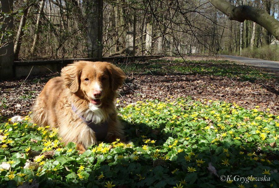 pies w czasie koronawirusa