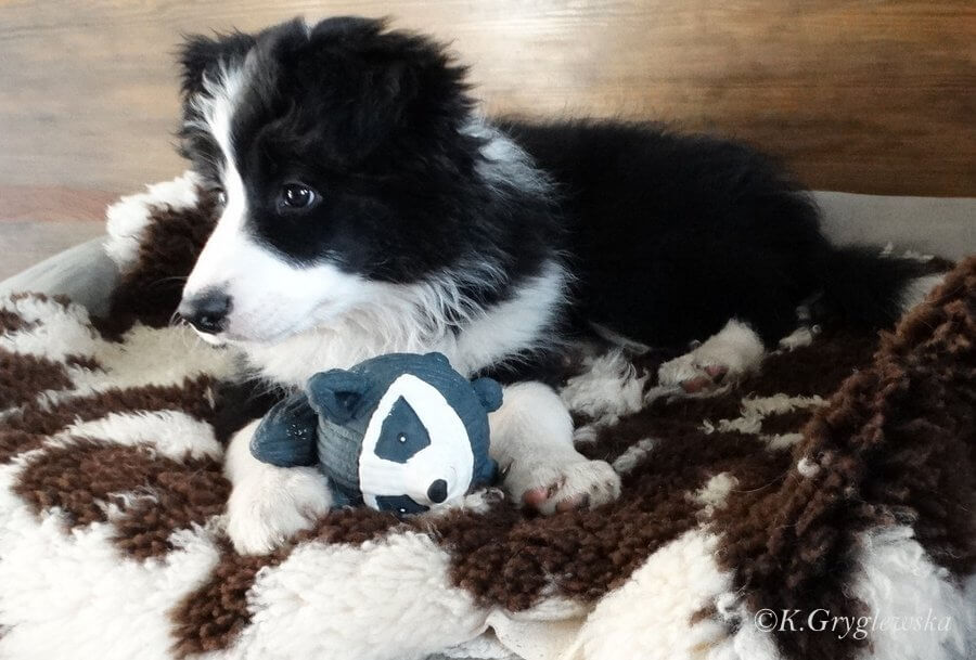 Alderaan border collie