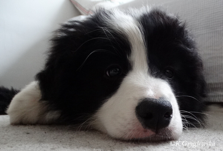 Iris Alderaan World in My Eyes border collie